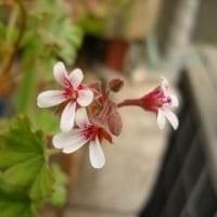 Ma fleur 花月  なぜか菜の花 のような花が咲きそう!?