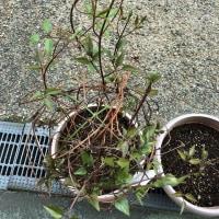 植木いろいろ・・・アジサイ・椿・カモミール・ラベンダー・サラダ水菜・青葱+ほうれん草・クレマチス・木の芽(^^)
