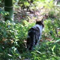 黒猫の庭~アヤメ ・ ジャーマンアイリス~