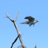 青空に飛び出し飛翔する、カッコウ。