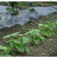 夏野菜の成長記録。トマト、キューリが実を付けだした。