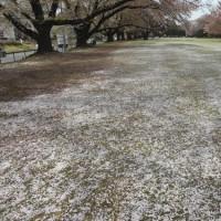 雪かと見紛うばかり・・・季節は移ろいゆく。