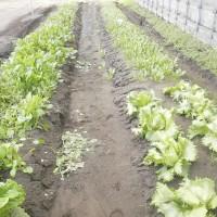 ハウスに葉物野菜生育中