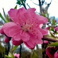 桃の花2017 その1