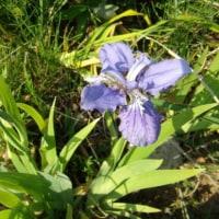 「おはようの花」 一初(いちはつ) 4月