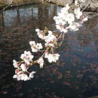 さくら 運動公園 岡大 2015.03.29~4.4 「218」