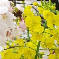 桜と菜の花2