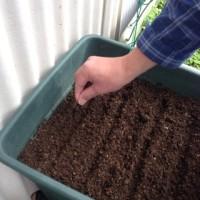 ルッコラの種を植えました!