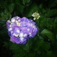 6月17日 庭のアジサイ&ねじ花
