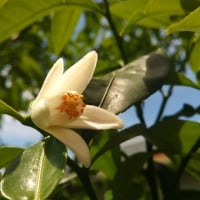 柚子の花と棘