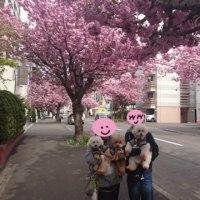 八重桜 散歩中