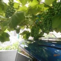 重たいブドウ
