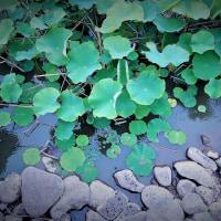 雨の蓮池。