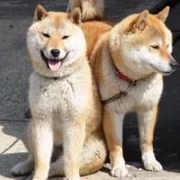 湯田川犬(山形県鶴岡市)