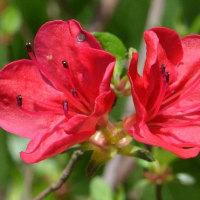 鉢植えの ミヤマキリシマツツジ(1)~「藤懸」など