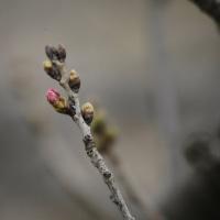 + 花のつぼみの桜色・・・ ペストを連想させる鳥インフルエンザの猛威  天の警告と知るべし