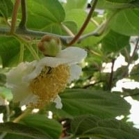 キウイフルーツの花・・・