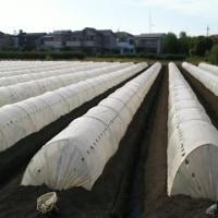 トウモロコシ追肥