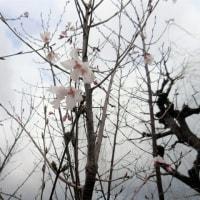 桜がちょっとだけ