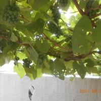 ブドウの葉が・・・