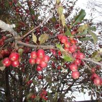 真っ赤なミニリンゴ