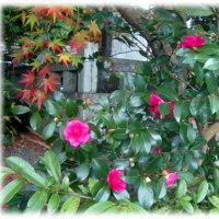 秋から冬の花(^^♪さざんか さざんか さいたみち 「さざんか(山茶花)」の花