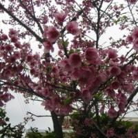 ウチの桜です。