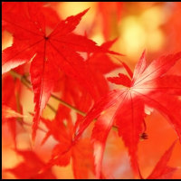 犬山城での紅葉