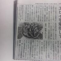 富田林産のエビイモ