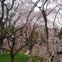 八幡市 桜情報