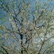 今年の桜2017。