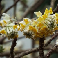 ミツマタ開花
