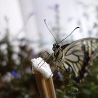 蝶だって音がわかる。