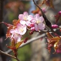 札幌でも早咲きの桜が開花!