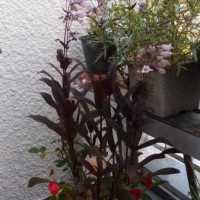 ペンステモンの花・・・。