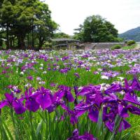 速報 弓削神社の花菖蒲園