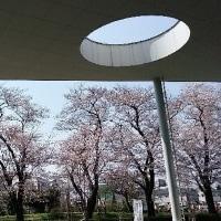 ★桜のショット番外編・・・ネコの目??