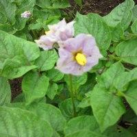 ジャガイモの花!