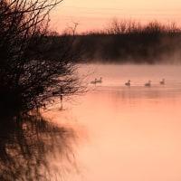越辺川の白鳥、旅立つ前に