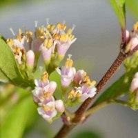 ムラサキシキブの花と実