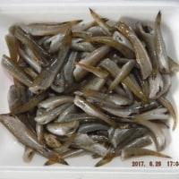 浜名湖(庄内湖)ハゼ釣りまた束釣り達成!