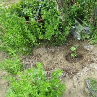 土手の雑草対策&上手く行けば食用