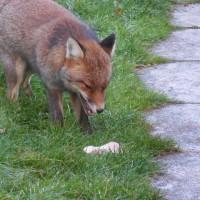 庭に棲みついた狐