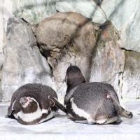 夫婦者ペンギン・フンボルト1
