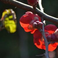 木瓜も春の陽射しで