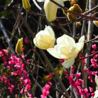 『春の色』 白木蓮