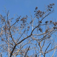 キリ(桐) 実と花芽