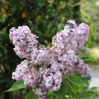 「おはようの花」 ライラック 5月