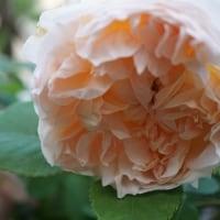 バラの季節がやってきました ♪