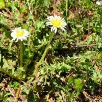 土手にシロバナタンポポの花